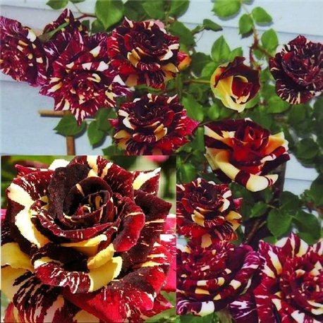 Роза плетистая Абра