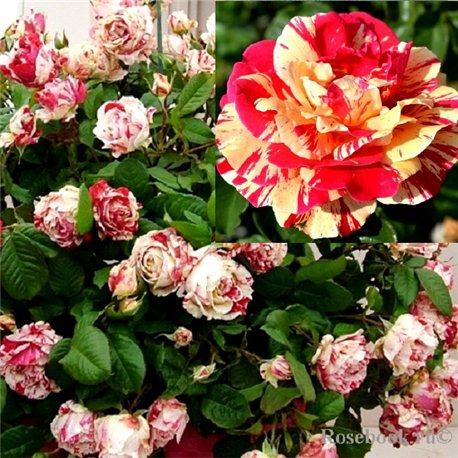 Роза плетистая Ваниль Фрейз
