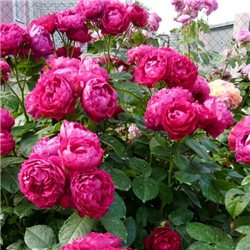 Троянда флорібунда Ascot