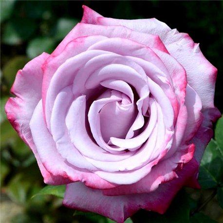 Роза чайно-гибридная Дип Перпл