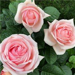 Троянда чайно-гібридна Афродіта