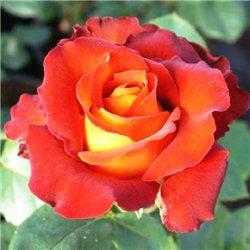 Троянда чайно-гібридна Кофе Брейк