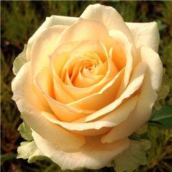Троянда чайно-гібридна Піч Аваланж
