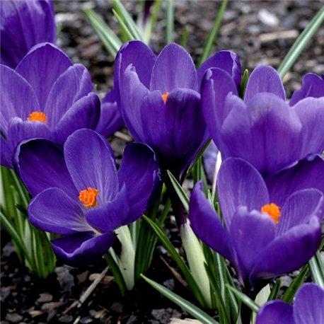 Крокус крупноцветковый Flower Record 7 луковиц