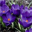 Крокус крупноцветковый Flower Record 5 луковиц