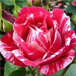 Троянда чайно-гібридна Анрі Матіс