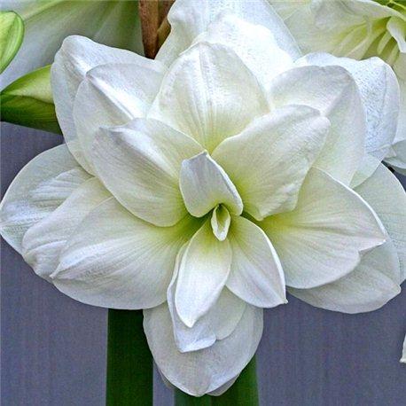Гиппеаструм Amaryllis Akiko (Double) 1 луковица