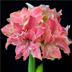 Гиппеаструм Amaryllis Sweet Nymph (Double) 1 луковица