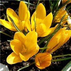 Крокус крупноцветковый Golden Yellow 7 луковиц
