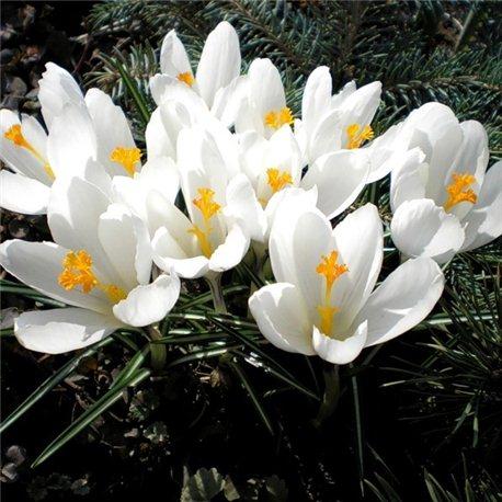 Крокус крупноцветковый Jeanne d Arc 7 луковиц