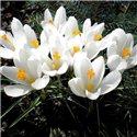 Крокус крупноцветковый Jeanne d Arc 5 луковиц