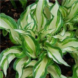 Хоста Kiwi Spearmint 1 рослина