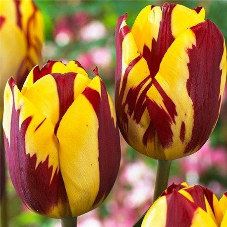 Тюльпан классический поздний Helmar 3 луковицы
