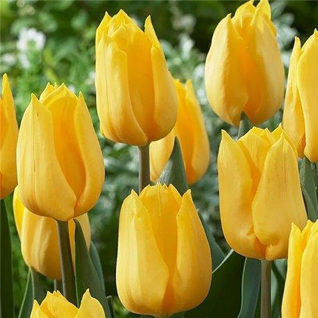 Тюльпан триумф Yellow Flight 3 луковицы