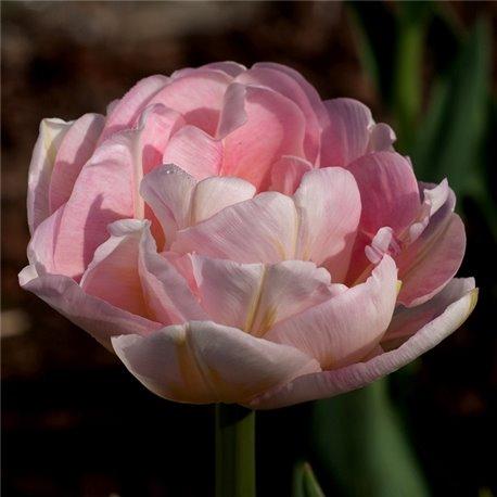 Тюльпан махровый Angelique 2 луковици