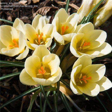Крокус ранневесенний chrysanthus Cream Beauty 10 луковиц