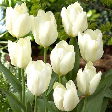 Тюльпан классический ранний фостера Purissima 3 луковицы