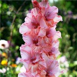 Гладіолус великоквітковий Sisi 5 цибулин