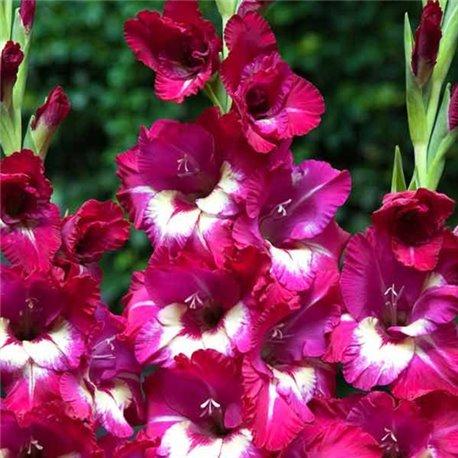 Гладиолус крупноцветковый Jo Jo 5 луковиц