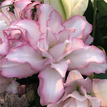Лилия махровая Roselily Anouska 1 луковица