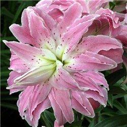 Лилия махровая Lotus Elegance 1 луковица