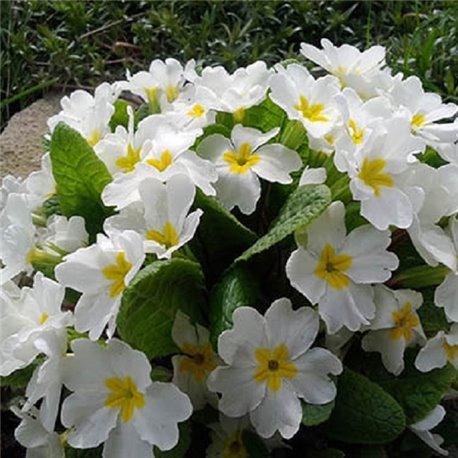 Примула ранневесенняя Вирджиния 1 растение