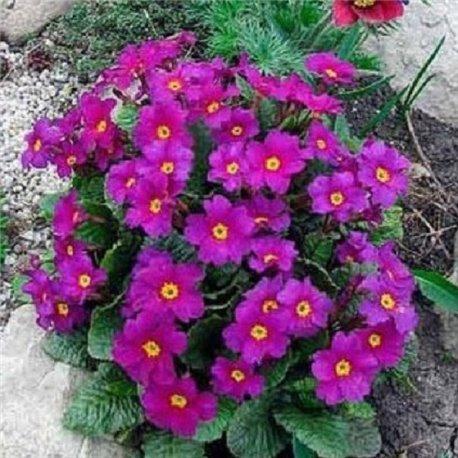 Примула ранневесенняя Церулеа 1 растение