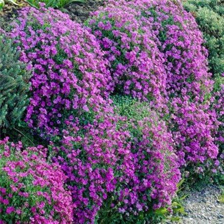 Обриета садовая Пурпурная