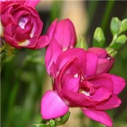 Фрезия махровая Pink 5 луковиц