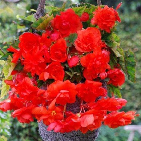 Бегония ампельная с гигантскими цветками красная 1 клубень