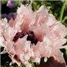 Мак многолетний Мак многолетний Miss Piggy (1 растение)