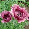 Мак багаторічний Pattys Plum (1 рослина)