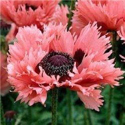 Мак многолетний Мак многолетний Pink Ruffles (1 растение)