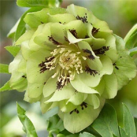 Морозник махровый Ellen Green (1 растение)