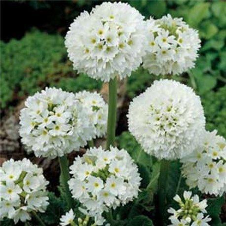 Примула denticulata Alba 1 растение