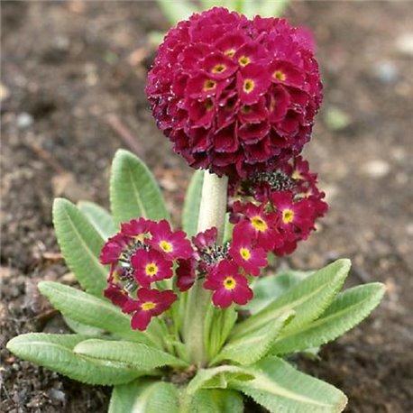 Примула denticulata Rubra 1 растение