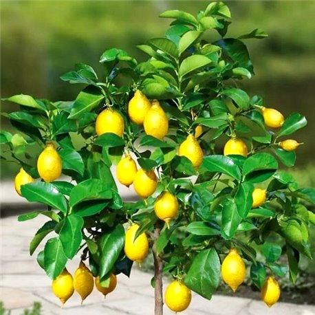 Лимон комнатный Эврика