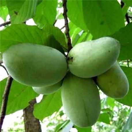 Азимина трилоба Пао-Пао (банановое дерево)