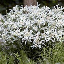 Эдельвейс Альпийский Blossom of Snow