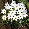 Іфейон Ipheion White Star 7 цибулин