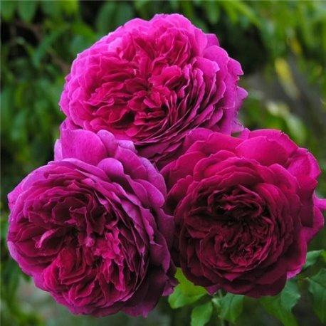 Роза английская Young Lycidas