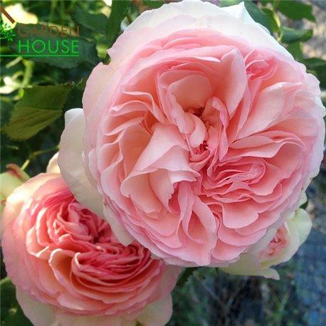 Роза английская Eden