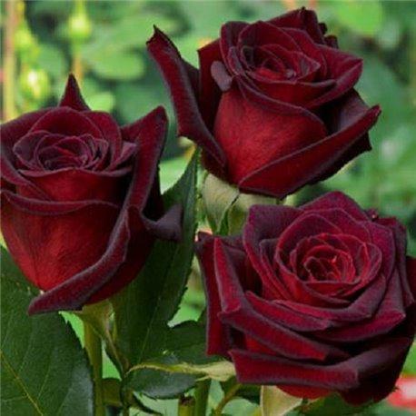 Роза чайно-гибридная Black Magic