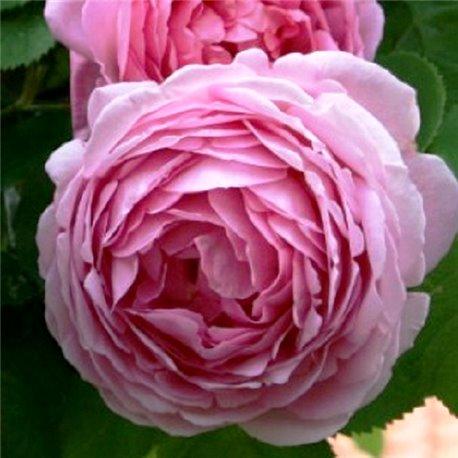 Роза пионовидная Constance