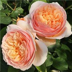 Троянда півонієвидна Juliet