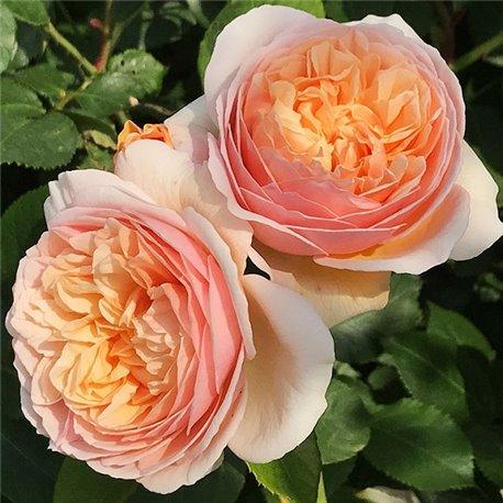 Роза пионовидная Juliet