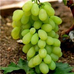 Виноград Кишмиш Піар