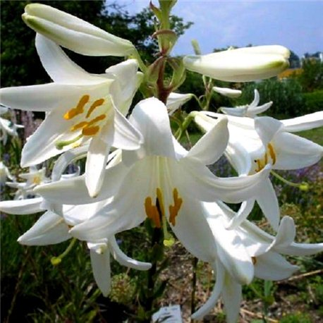 Лилия белоснежная лечебная Candidum 1 луковица