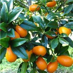 Кумквата (золотий апельсин)