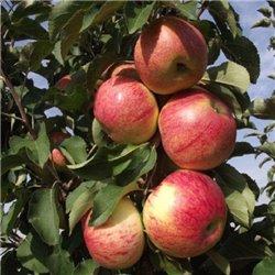 Яблуня колоновидна Останкіно